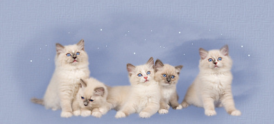 Purchasing a kitten from Heavens Ragdolls